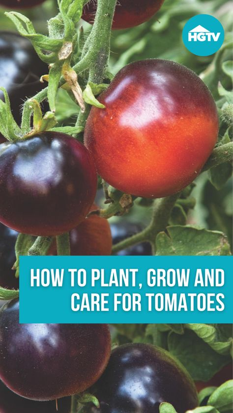 Homegrown tomatoes just taste better. 🍅 Consider this your ultimate guide to choosing tomato plants, planting, growing and caring for tomatoes, and harvesting the best-tasting tomatoes ever.