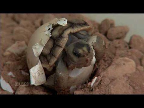 Hatching of a Mojave Desert Tortoise