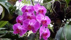 Gambar Bunga Anggrek Warna Ungu Downlaod Gambar Bunga Anggrek Warna Ungu Bunga Anggrek Violet Foto Bunga Anggrek Bulan Wallpap Di 2020 Anggrek Bunga Wallpaper Bunga