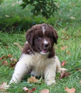Newfoundland Puppies For Sale Lancaster Puppies Newfoundland Puppies Puppies For Sale Lancaster Puppies