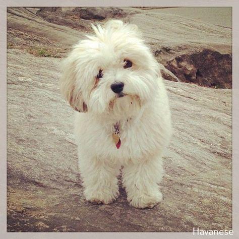 Pin On Dog Breed Havanese