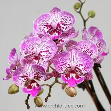 Phalaenopsis Shu Long Pearl Phalaenopsis Orchid Phalaenopsis Orchid Plants