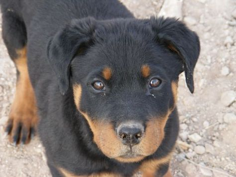 Home Remedies For Parvo In Puppies Dog Breeds Rottweiler