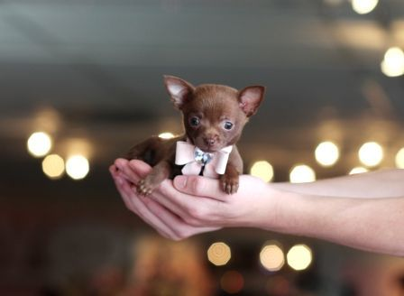 Teacup Chihuahuas For Sale Chihuahua Puppies Teacup Chihuahua
