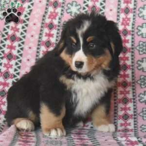 Steve Bernese Mountain Dog Puppy For Sale In Pennsylvania In 2020 Mountain Dogs Bernese Mountain Dog Puppy Bernese Mountain Dog