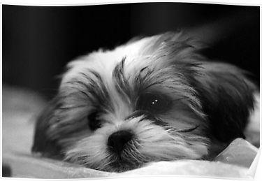 Shitzu Maltese Mix Puppy Poster By Ryan Houston Shih Tzu