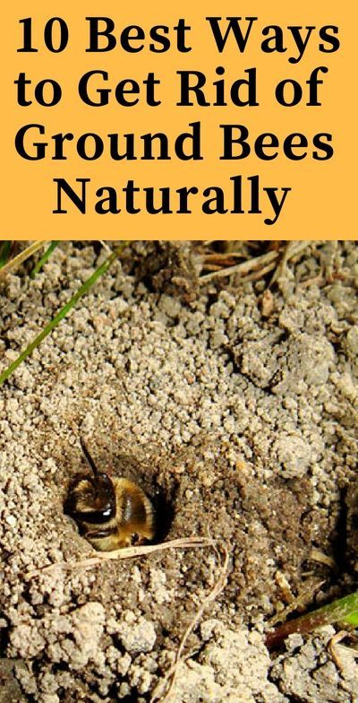 Ground Nesting Bees How To Keep Them Away Naturally Ground Bees Natural Bee Repellent Bees Nest Removal