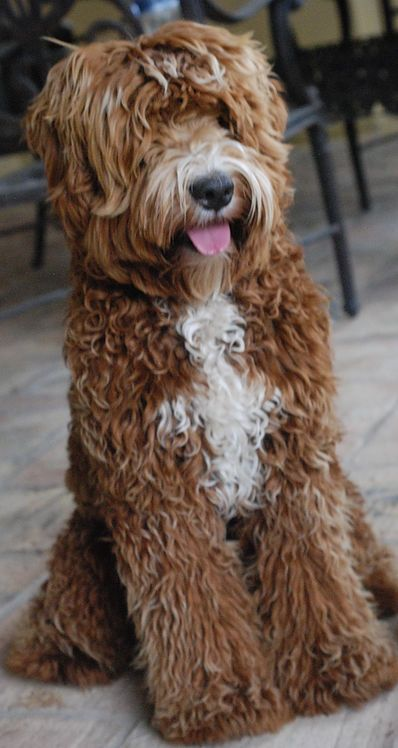 Upcoming Litters Of Australian Labradoodles For Sale In Arizona