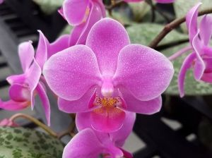 Ajy 11141 Orchids Amazing Flowers Phalaenopsis Orchid