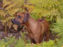 Rhodesian Ridgeback The African Lion Dog Lion Dog Dogs