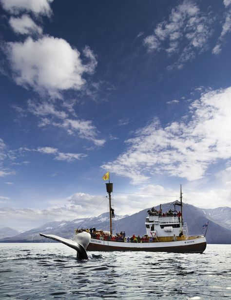 Whale Watching Tours in Iceland. Adventures.is