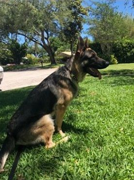 This Lonely Dog Needs A Home Thanks For Sharing German Shepherd