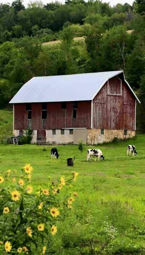 Peaceful country scene; cows and barn