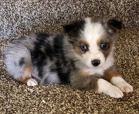 Available Pups Healthyaussiehome Aussie Puppies Aussie Shepherd Puppy Cute Dogs And Puppies