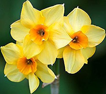 The Daffodil Is The National Flower Of Wales In 2020 Daffodils National Flower Of Wales Flowers