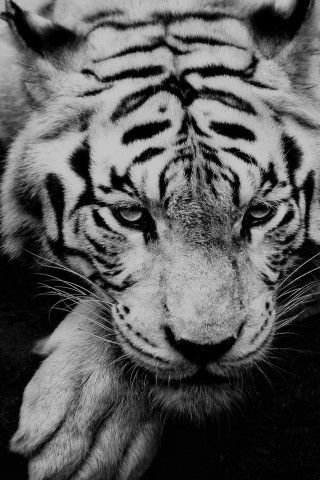 White Siberian Tiger Iphone 6 Plus Hd Wallpaper Wild Animal Wallpaper Pet Tiger Tiger Wallpaper