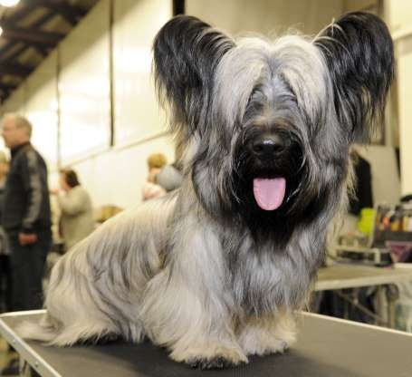 Most Dog Lovers Don T Even Know These Rare Breeds That Make The Best Pets In 2020 Rare Dog Breeds Skye Terrier American Pitbull Terrier