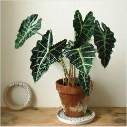 Shrubs Alocasia Plant Nursery