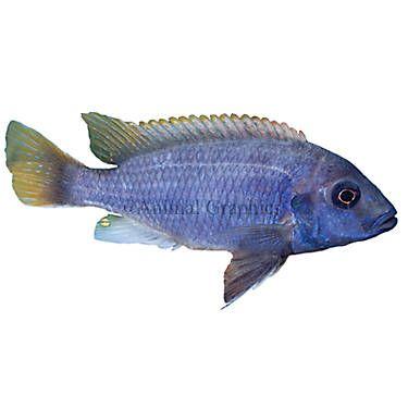 Acei Cichlid Fish Goldfish Betta More Petsmart Pet Fish