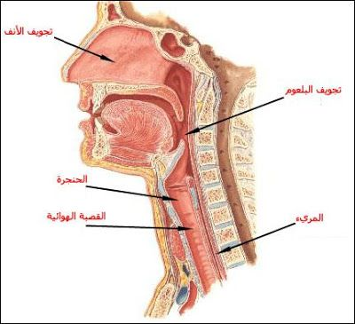 بحث حول الجهاز التنفسي أعضاء التنفس لدى الإنسان الموسوعة المدرسية Medical Words Teach Arabic Medical