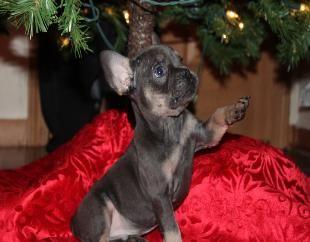 Blue Tri French Bulldog Located In Kansas Www Gaugerslittlebullies