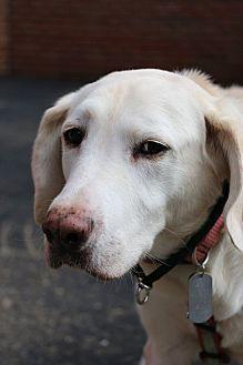Detroit Mi Labrador Retriever Meet Sabrina Pending A Dog For Adoption Labrador Retriever Mix Labrador Retriever Labrador