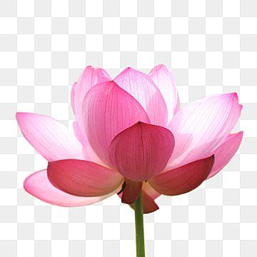 Hermosa Flor De Loto Png Loto Flor Png Y Psd Para Descargar Gratis Pngtree Lotus Art Watercolor Flower Background Flower Png Images