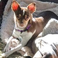 Colorado Springs Co Chihuahua Meet Lanie A Pet For Adoption