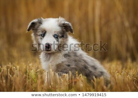 Stock Photo Border Collie Puppy In A Stubblefield Collie Puppies Pet Dogs