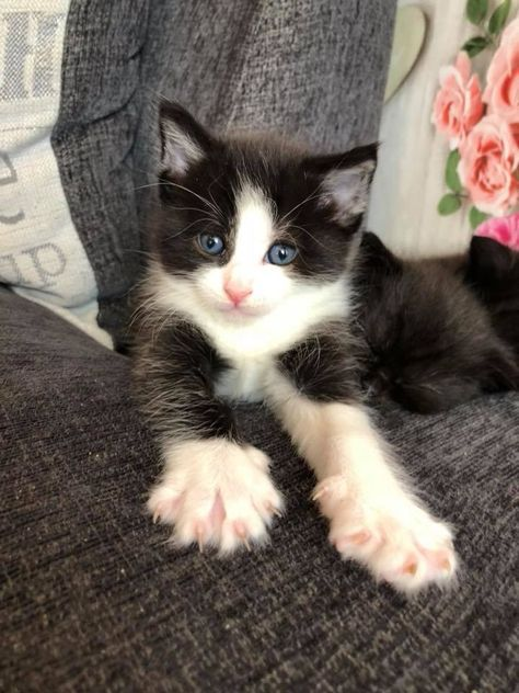 Black And White Kitten With Stretchy Toes White Kittens Black And White Kittens Kittens Cutest