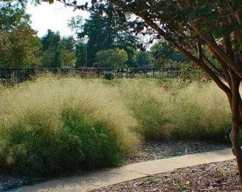 Love Grass Sand Ornamental Grass Seeds Eragrostis Trichodes 200 Seeds Ornamental Grasses Grass Seed Landscape Trees