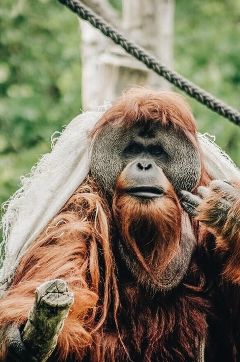 Orangutan - wearing a burlap