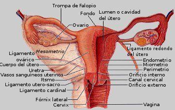 Utero Jpg 360 226 Pixeles Anatomia Del Aparato Reproductor Femenino Cosas De Enfermeria Anatomia Del Cuerpo