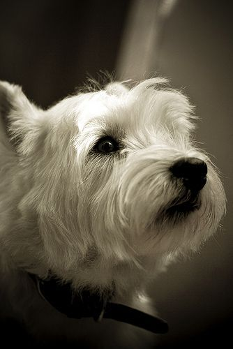 Birthday Boy Reminds Me Of My Lovely Beautiful Nellie Westie Puppies West Highland Terrier Westies
