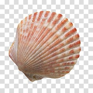 Red And White Shell Seashell Sand Beach Shells Transparent Background Png Clipart Sea Shells Transparent Background Beach Illustration