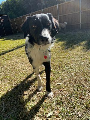 Prosper Tx Border Collie Meet Charlie A Pet For Adoption In 2020 Pet Adoption Pets Dog Adoption