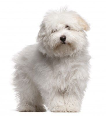 This Small White Dog Never Ran Wild On The Island Nor Did It Hunt Wild Boar Or Alligators But It Did Deve Dog Breeds Coton De Tulear Puppy Coton De Tulear