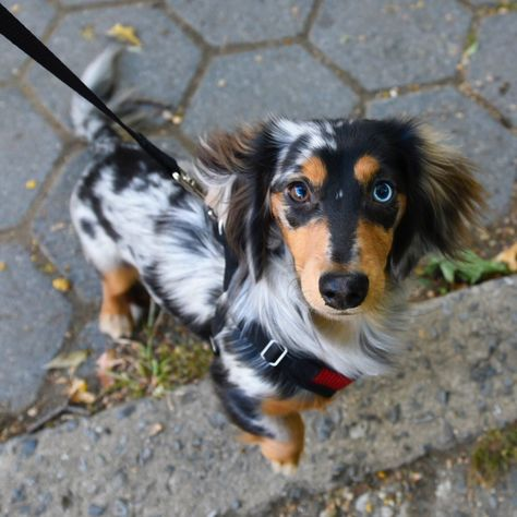 The Diverse Dachshund Breed - Champion Dogs Dapple Dachshund Puppy, Dachshund Breed, Dachshund Funny, Long Haired Dachshund, Daschund, Weenie Dogs, Doggies, Cute Dogs And Puppies, Corgi Puppies