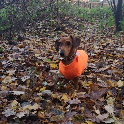 instagram: @mrpepperonijingles • Without my #equafleece #equafleeceuk I just blend into the autumn colours!!!!! #dogcoat #autumn #woodland __________________________ #minidachshund #dachshund #minidoxie #dachshundsofinstagram #doxielove #sausagedog #sausagedogcentral #doxiefever #dogsofinstagram #dachshundoftheday #dachshundlove #hotdog  #dachshund #love #cute #justdachshunds #adorable #dog #pet #longdog #dogoftheday #doglover #weinerdog #wienerdogworld #dachshundunited #dachshundappreciation