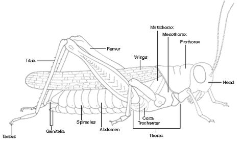 Parts Of A Grasshopper Biology Worksheet Arthropods Zoology Lessons