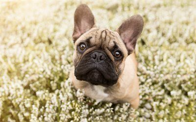 Download Wallpapers French Bulldog Small Dog Puppy Brown Bulldog Field Dog In Flowers Besthqwallpapers Com French Bulldog Bulldog Small Dogs