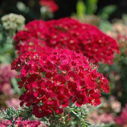 bijenplanten vlindervriendelijkeplanten, planten voor nuttige insecten bij kwekerij Bastin