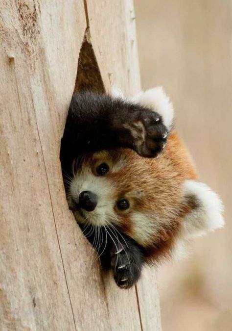 Information about types of pandas that exist in the world. Not only that, you can find fun facts about giant pandas and red pandas too. Funny Animals With Captions, Cute Funny Animals, Cute Baby Animals, Animals And Pets, Funny Captions, Baby Captions, Safari Animals, Panda Tree, Red Panda Cute