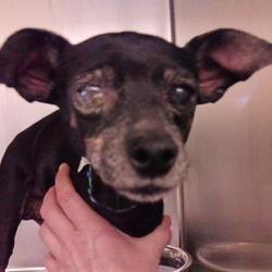 Available Pets At Austin Animal Center In Austin Texas Miniature Pinscher Pet Adoption Pinscher
