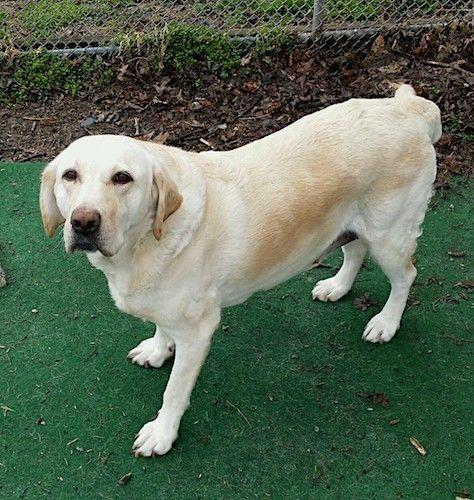 Adopt Daisy 56 On Labrador Retriever Labrador Lab Puppies