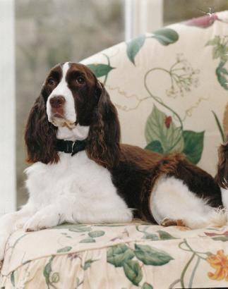 スプリンガー スパニエル イングリッシュ イングリッシュ・スプリンガー・スパニエルってどんな犬?性格としつけ方 アクサダイレクトのペット保険