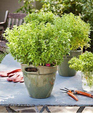 The Generous Pot Size Offers You Plants With A Well Developed Root System Giving You A Head Start To Plant Maturity Boxwood Basil Pl Basil Plant Herbs Plants