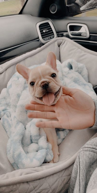 The major breeds of bulldogs are English bulldog, American bulldog, and French bulldog. The bulldog has a broad shoulder which matches with the head. Baby Animals Pictures, Cute Animal Pictures, Animals And Pets, French Bulldog Puppies, Cute Dogs And Puppies, Doggies, Maltese Puppies, Terrier Puppies, Cute Little Animals