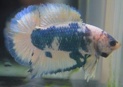Live Betta Fish Imported Male Awesome Full Moon Doubletail Plakat Male Young Betta Betta Fish Fish Pet