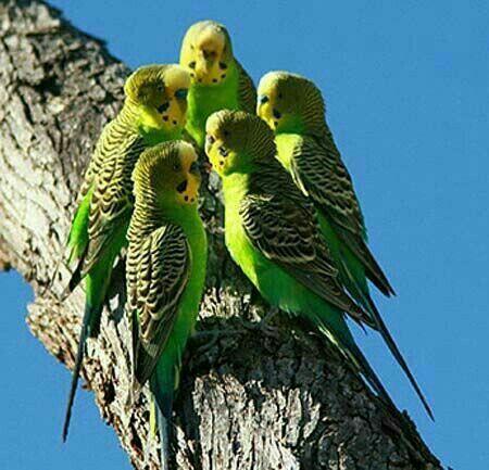 Pin By Mona Moni On Papagaj Pet Birds Birds Wild Budgies